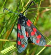 Six-spot Burnet Moth